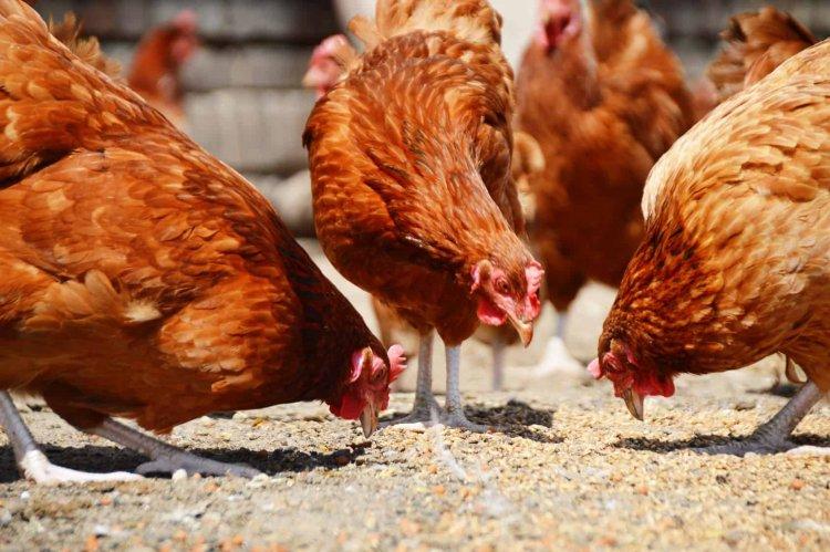 Românii nu mai pot vinde păsări pentru o perioadă de 30 de zile din cauza gripei aviare