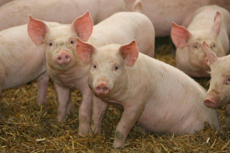 ANSVSA: Peste 300 focare de pestă porcină înregistrate în toată țara
